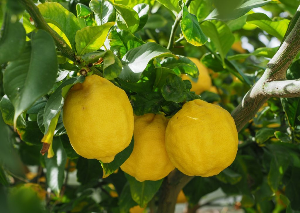 """In India, Christmas is an official holiday, called """"bada din"""" (the big day) in Hindi. For the head of the family, it is a sign of special honor when, on the first day of the Christmas celebration, his family hands him a lemon, along with best wishes for happiness and success."""